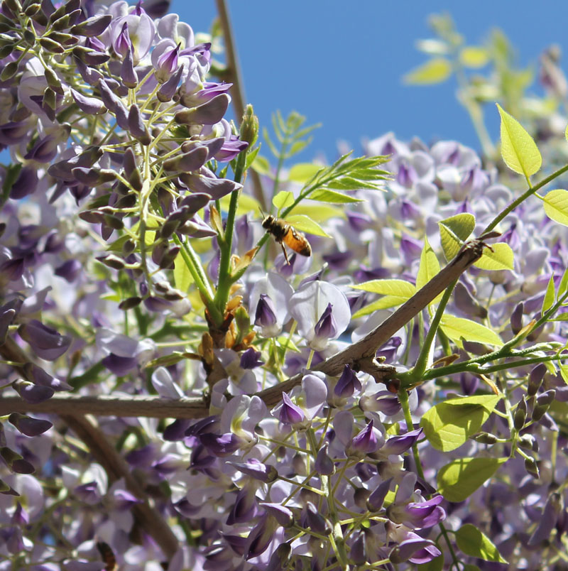 Bee in Wisteria